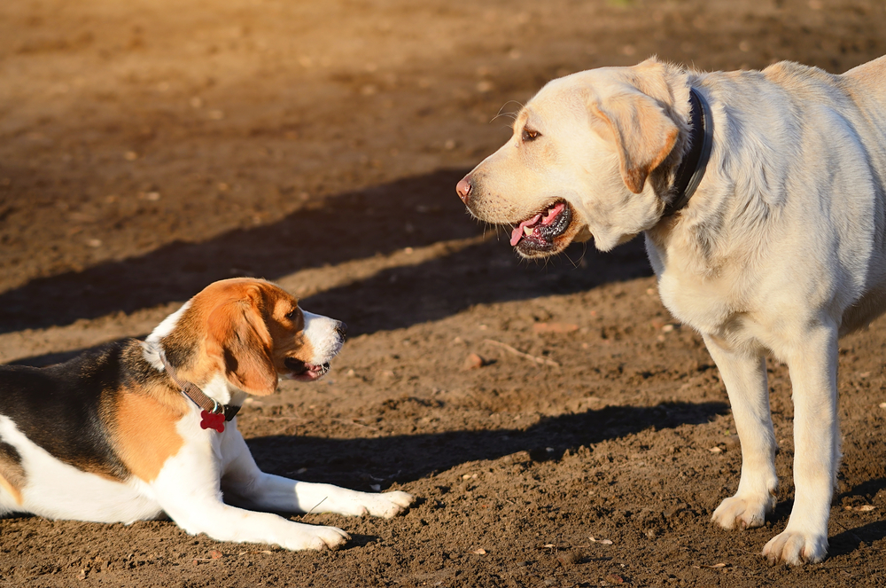 Dominance In Dogs: Recognizing Dominant Behavior
